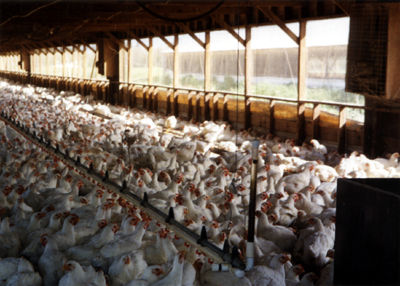 This environment is where our chicken products really come from. (Socially Responsible Agricultural Project, Creative Commons)