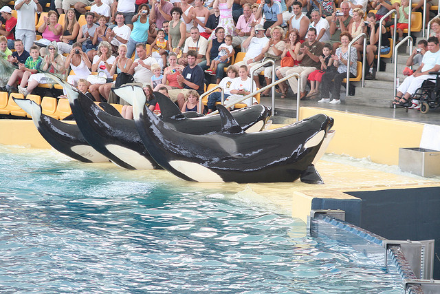 Orcas performing at Loro Parque. (Flickr user Marino Carlos)