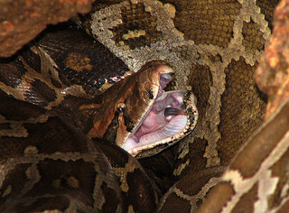 Pythons are constricting snakes. (Creative Commons/Flickr User wildxplorer)