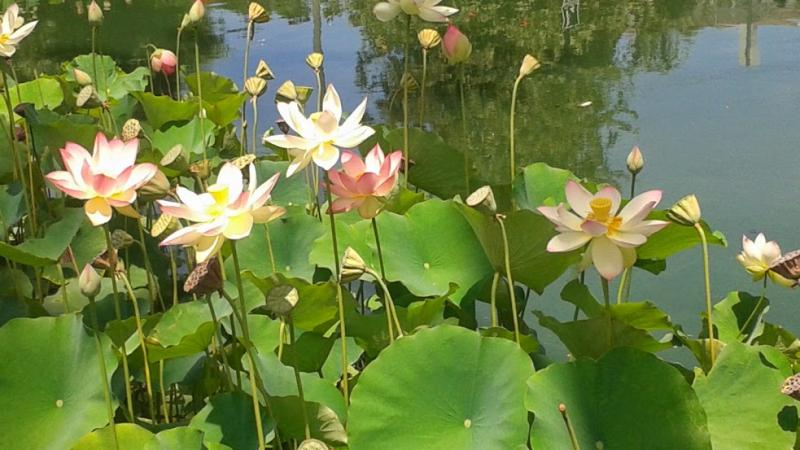 Sections of Echo Park Lake were blocked in order to protect its replanted Lotus bed. (Heidi Carreon/Neon Tommy)